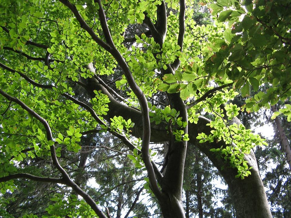 Beech, Tree, Leaves, Green, Aesthetic, Summer, Nature