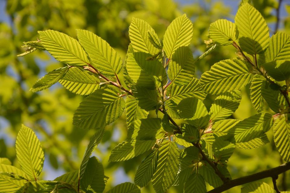 Beech, Leaves, Nature, Light, Shrub
