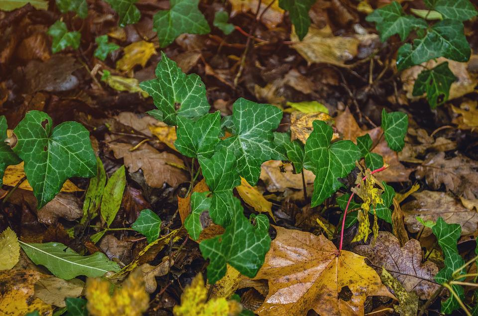 Autumn, Ivy, Nature, Leaves, Ivy Leaf