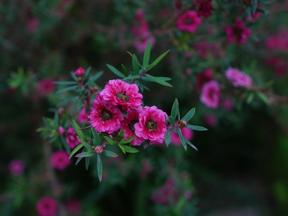 Manuka, Flower, Red, New Zealand, Leaves, Bloom, Plant