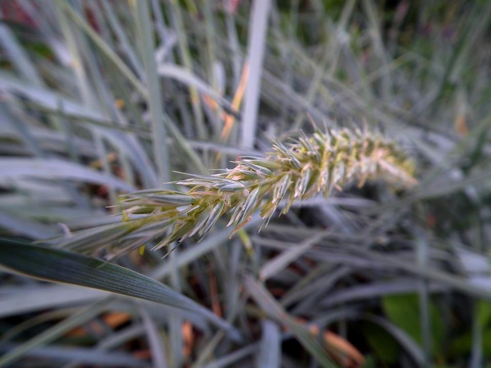 Grass, Kolos, Bloom, Green, Leaves Of Grass