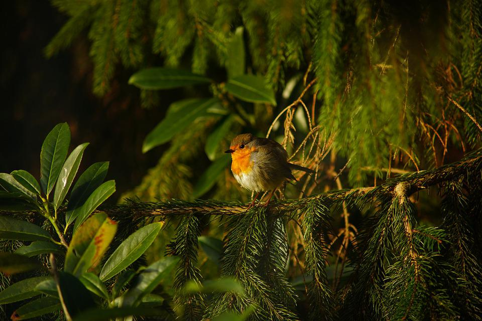 Robin, Bird, Branches, Leaves, Foliage, Perched