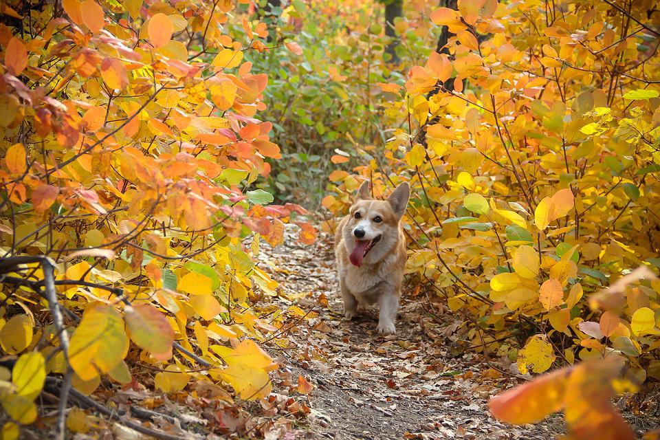 Corgi, Dog, Autumn, Leaves, Pet, Animal, Cute, Doggy