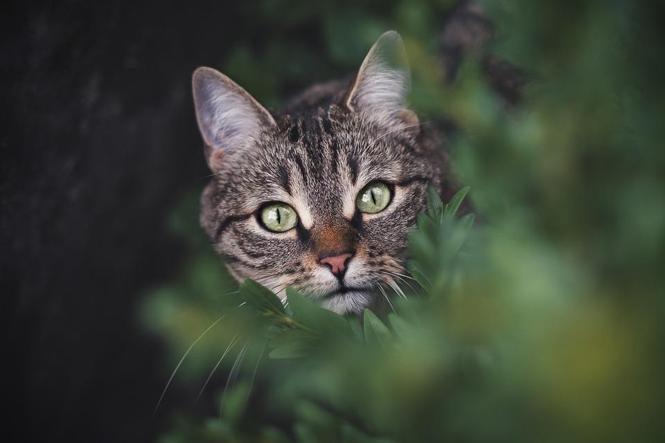 Cat, Tabby, Pet, Feline, Animal, Leaves, Head, Fur