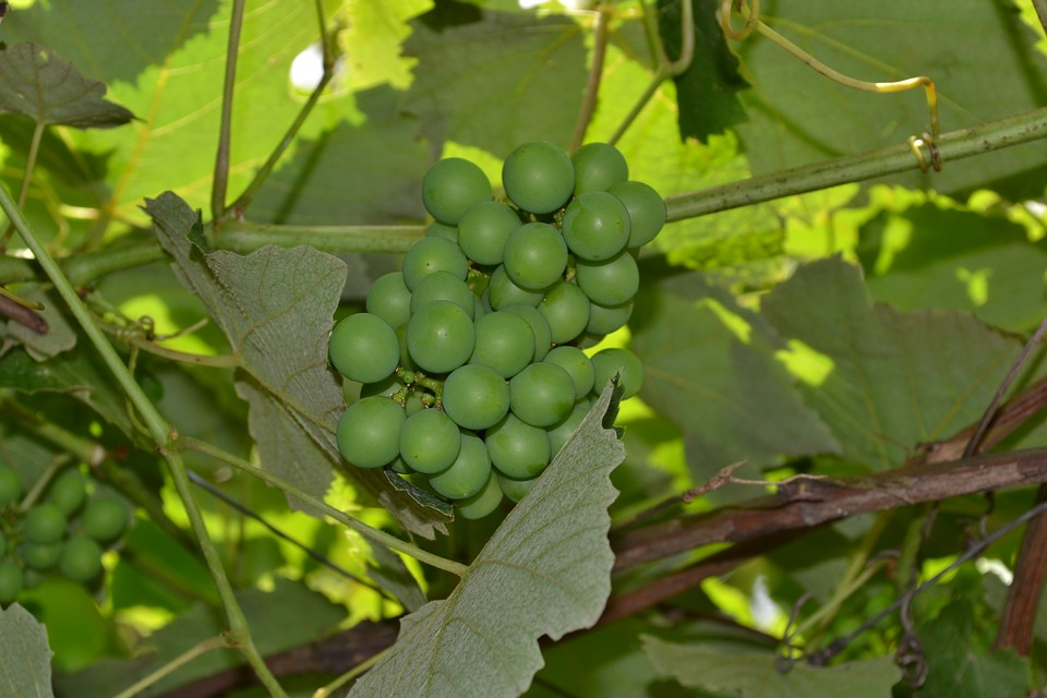 Grapes, Vine, Cluster, Leaves, Plant, Parra