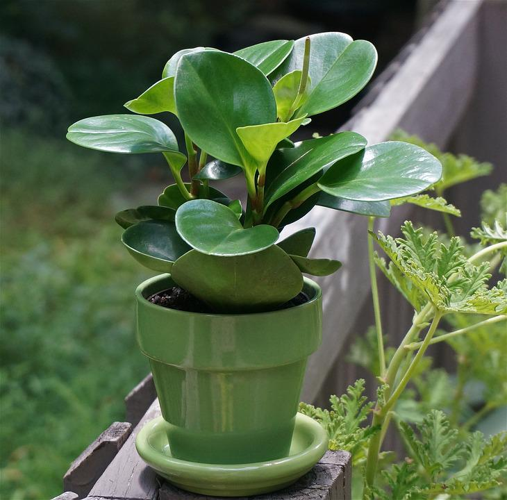 Peperomia Pot Plant Indoor Green Leaves