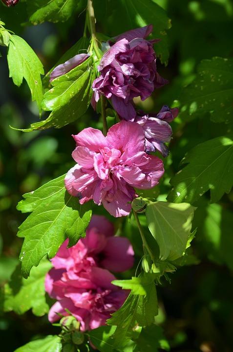 Flower, Purple, Bloom, Blossom, Leaves