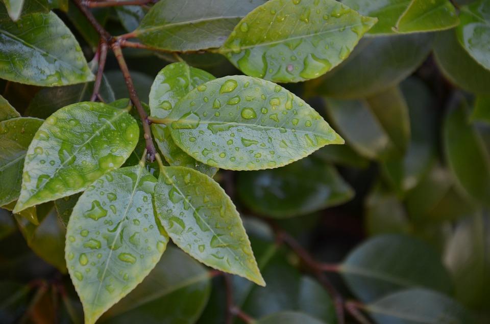 Wet Leaves, Nature, Raindrop, Drip, Leaves