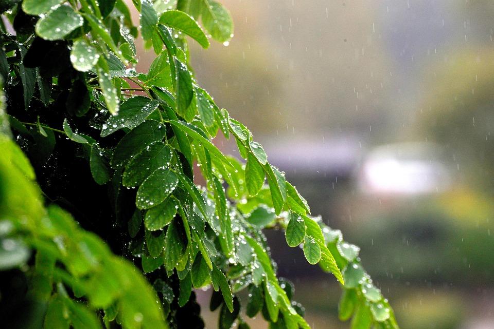 Leaves, Rain, Raindrop, Rainy Weather, Weather, Drip