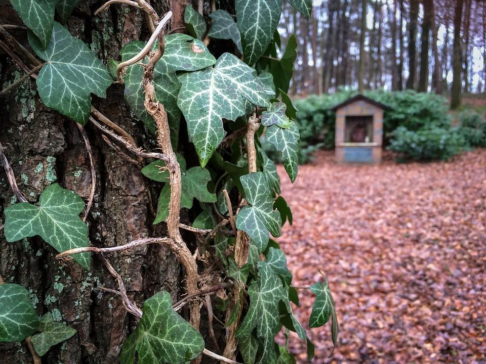 Ivy, Tree, Bark, Forest, Log, Climber, Ranke, Leaves