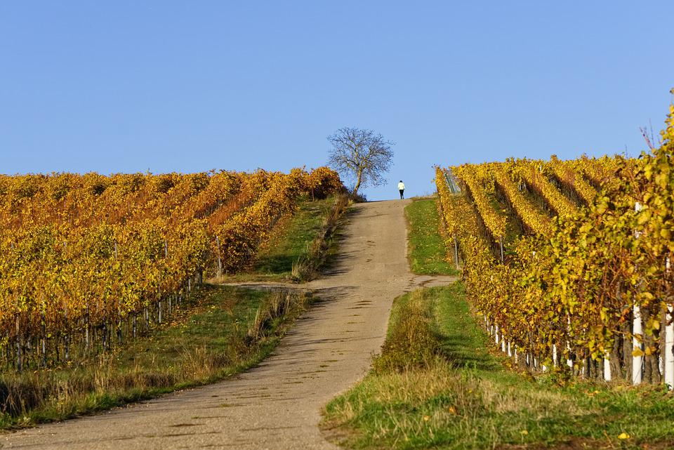 Vineyards, Vines, Vineyard, Autumn, Rebstock, Leaves