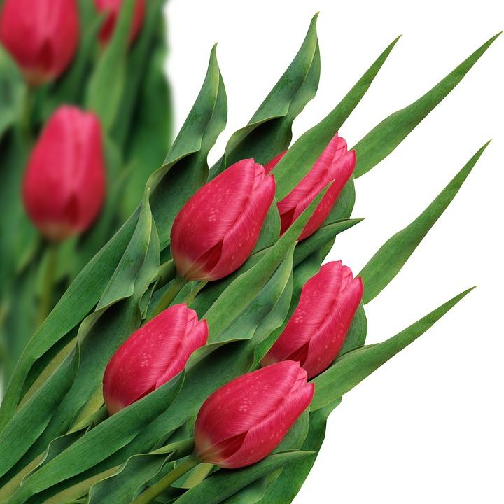 Tulips, Flowers, Red Tulips, Petals, Redp Etals, Leaves