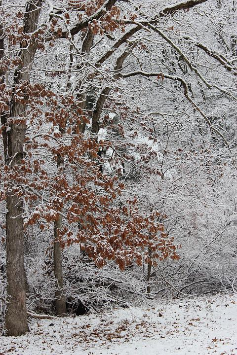 Tree, Leaves, Snow, Nature, Season, Natural, Foliage