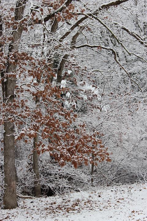 Tree, Leaves, Snow, Nature, Season, Natural, Foliage