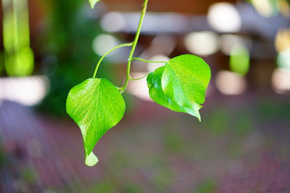 Ivy, Ivy Leaf, Smooth, Shine, Green, Leaves