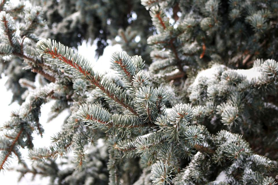 Pine, Pine Tree, Leaves, Conifers, Snow, Snow Crystals