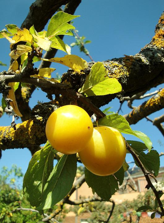 Plums, Fruit, Summer, Yellow, Plum, Branch, Leaves