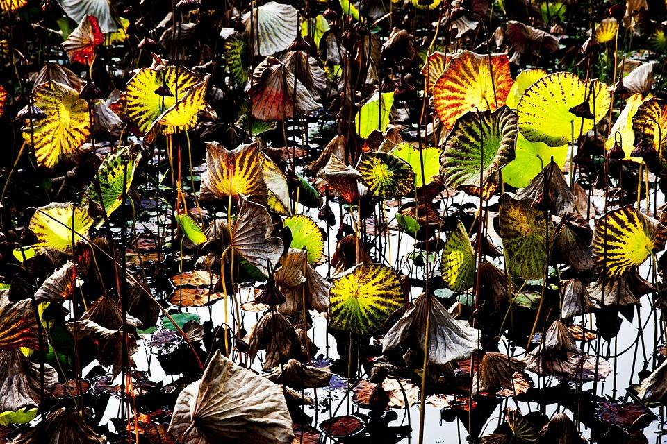 Lotus, Sunshine, Leaves