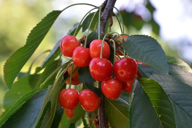 Cherries, Branch, Leaves, Sweet Cherries, Red