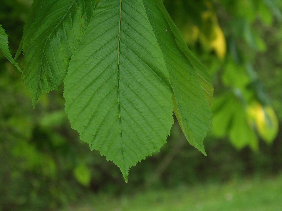 Leaves, Beech, Forest, Tree, Nature, Green