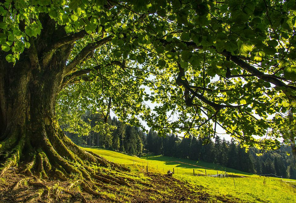 Tree, Linde, Natural Monument, Green, Forest, Leaves