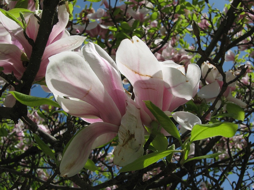 Tree, Blossom, Bloom, Spring, Magnolia, Pink, Leaves