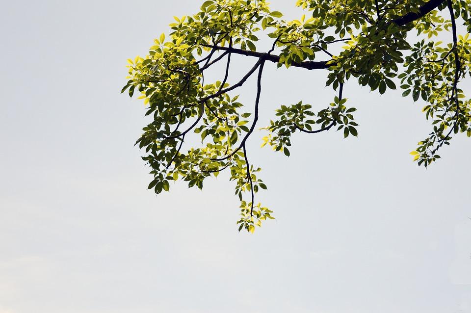 Tree, Leaves, Afternoon, Nature, Season, Natural