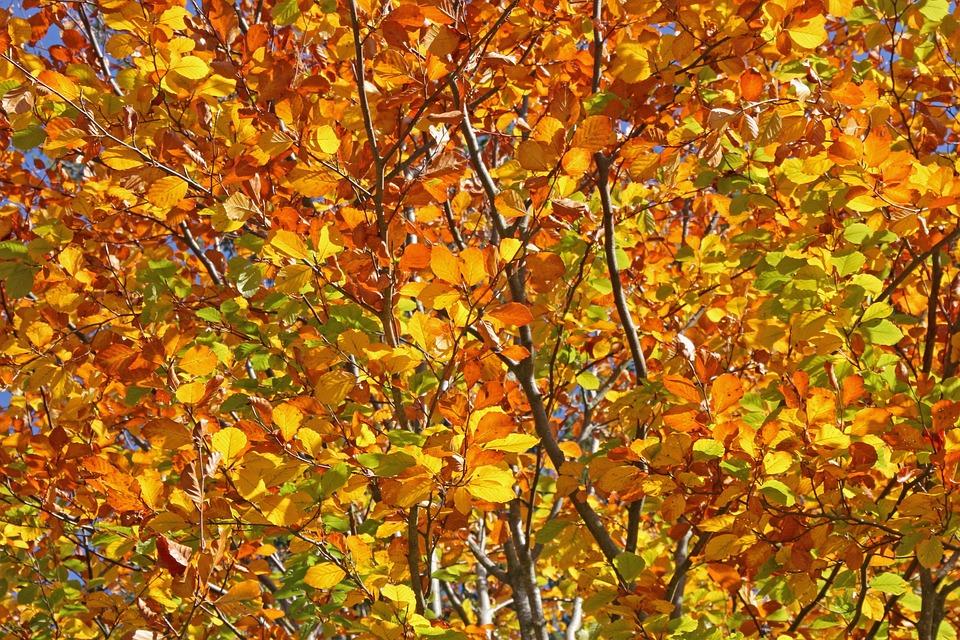 Autumn, Leaves, Tree Shrub, Nature, Forest, Background