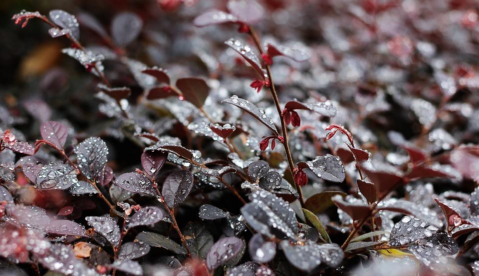Raindrops, Tree, Leaves W, Nature, Rain, Water, Branch