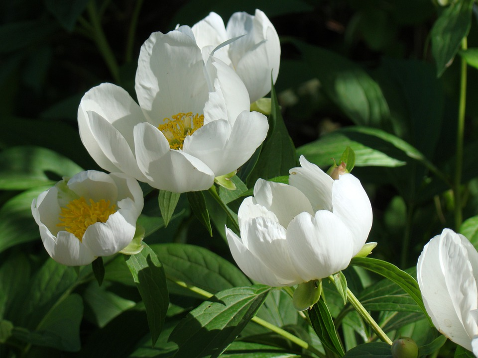 Free photo leaves white flowers peonies summer max pixel peonies flowers white leaves summer mightylinksfo