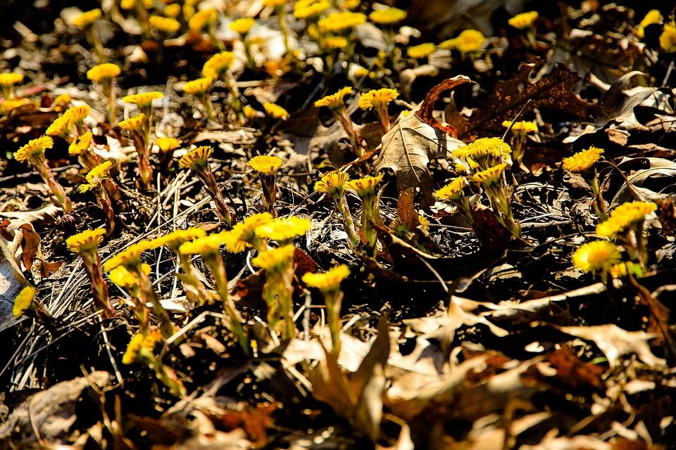Dandelions, Flowers, Wildflowers, Leaves, Wood, Ground