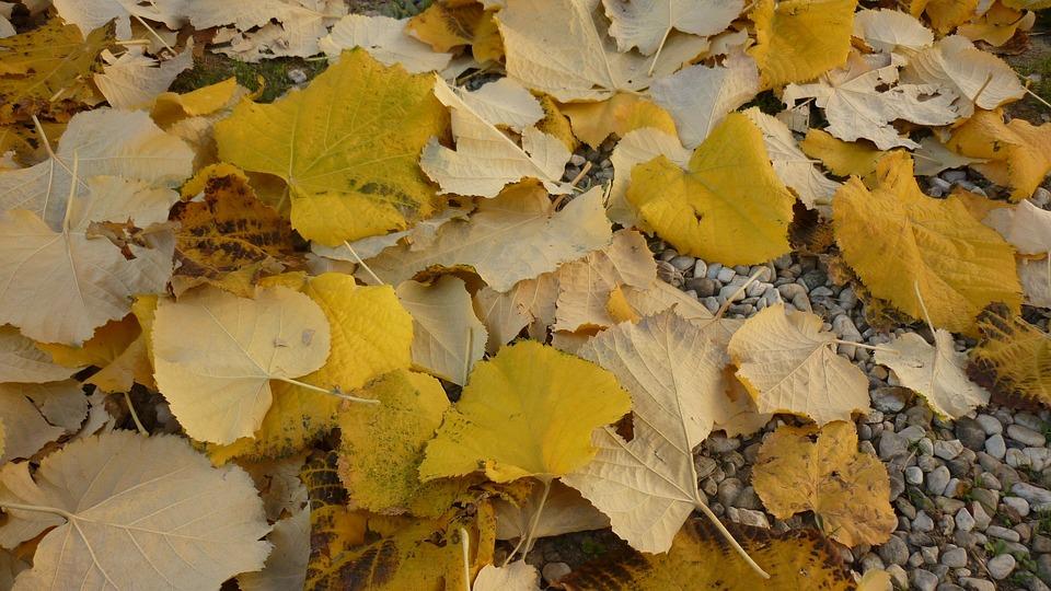 Leaves, Autumn, Yellow