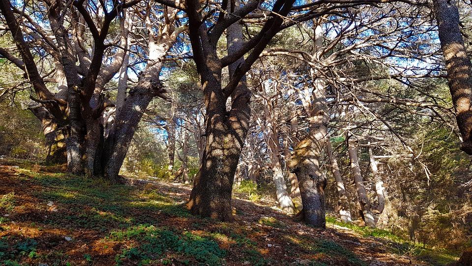 Cedars Of The Lord, Lebanon Cedars, Cedar Forest