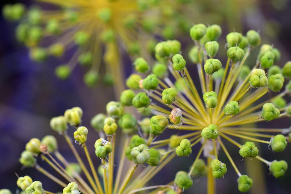 Leek, Ornamental Onion, Giant Allium, Plant