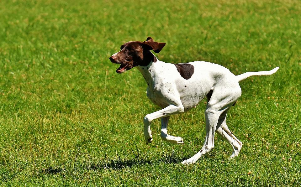 Dog, Play, Meadow, Left Out, Race, Animal