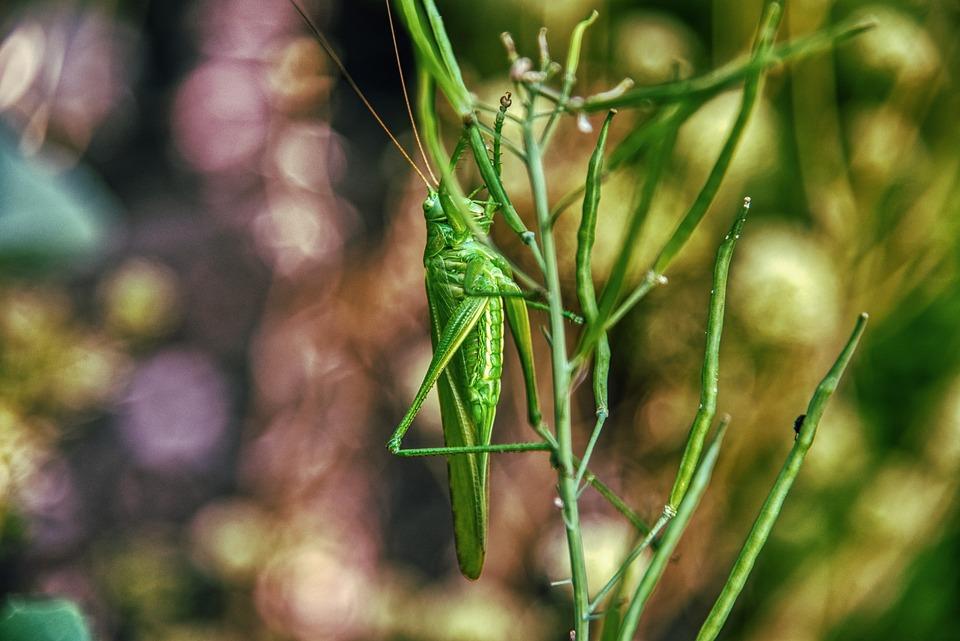 Grasshopper, Insect, Green, Probe, Legs