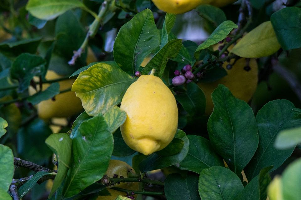Fruit, Food, Leaf, Nature, Plant, Limom, Lemon, Leaves