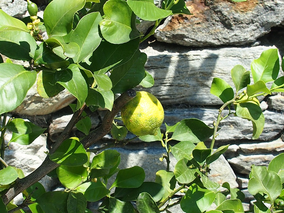 Fruit, Lemon, Yellow, Citrus Fruits, Lemon Tree, Plant