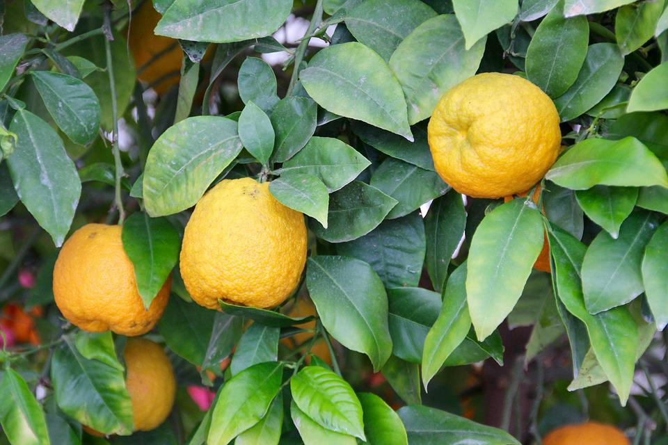 Lemons, Lemon Tree, Citrus, Citrus Fruits