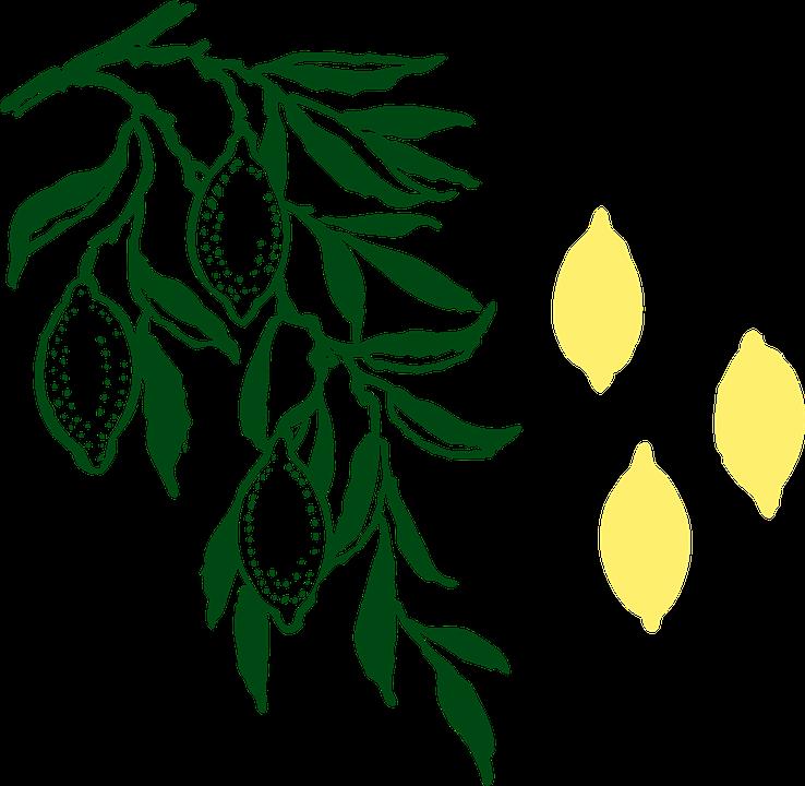 Lemon Tree, Lemons, Tree, Leaves, Citrus, Fruits