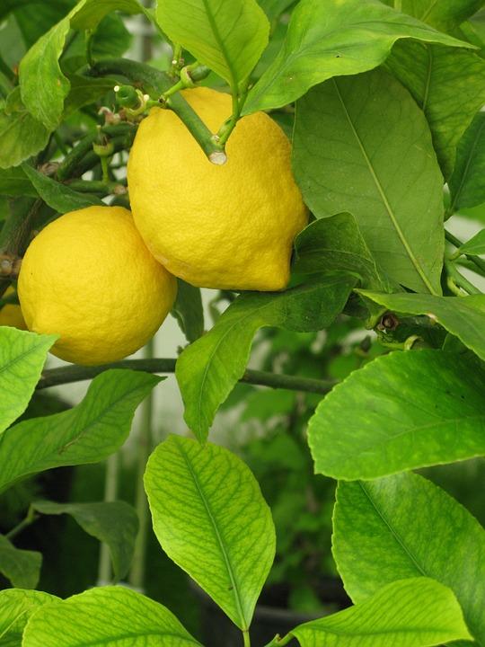 Lemon, Lemonade, Tree, Fruit, Fresh, Citrus, Drink