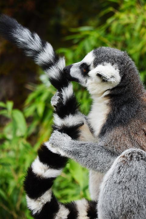 Lemur, Africa, African, Animal, Beautiful, Cleaning