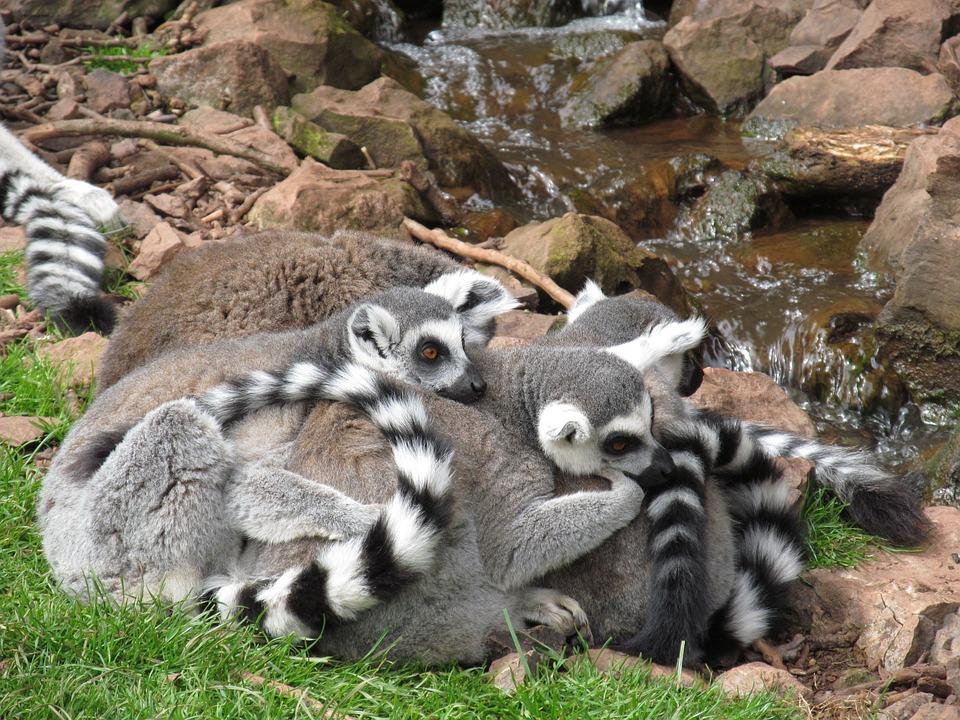 Lemur, Cuddle, Cute, Cuddly, Zoo, Ring-tailed