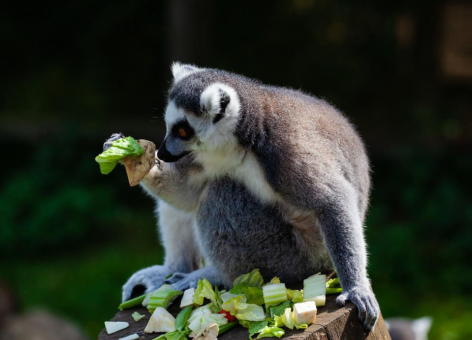 Ring Tailed Lemur, Black And White Lemur, Lemur Eating