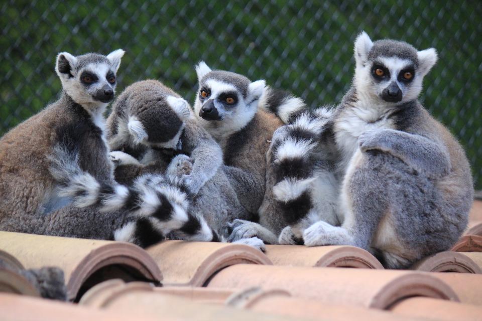 Lemur, Lemurs, Look, Animal, Animals, Exotic Animal