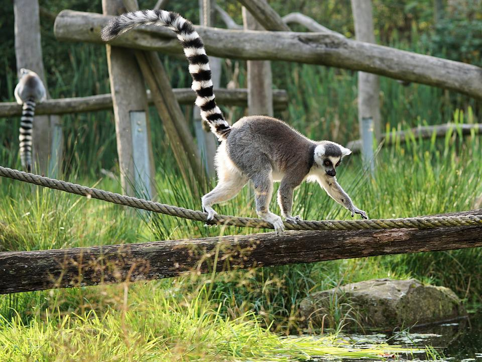 Ring Tailed Lemur, Lemur, Madagascar, Prosimians