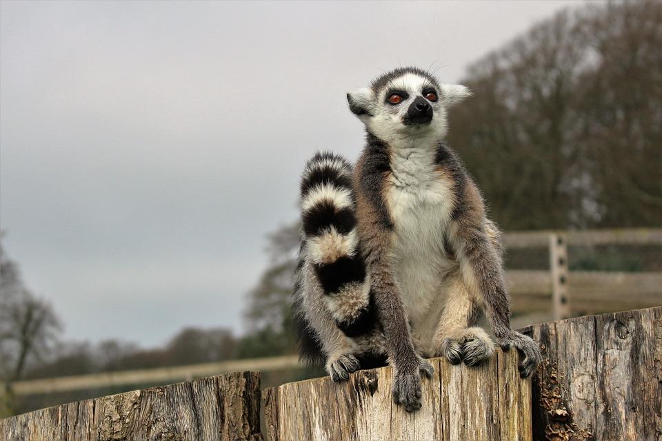 Lemur, Ring-tailed, Primate, Animal, Wild, Mammal