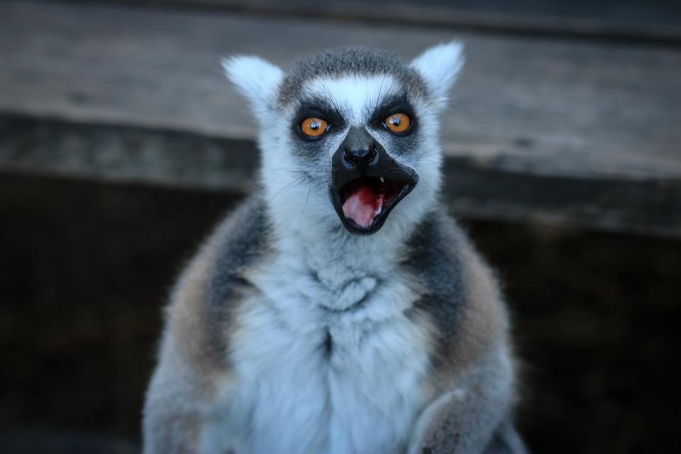 Lemur, Lemurs, Animals, Zoo, Share, Nature, Animal