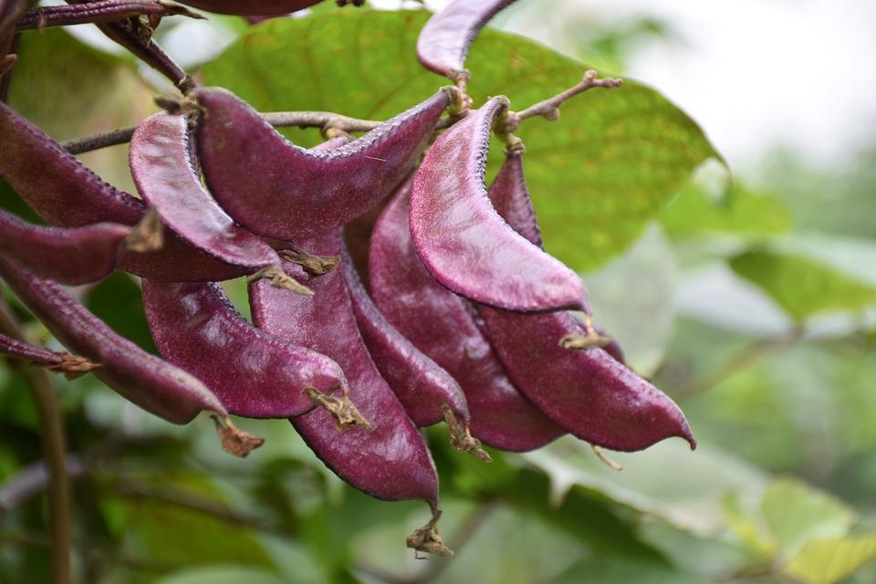 Pods, Beans, Lentils, Seeds, Leguminous, Cassia