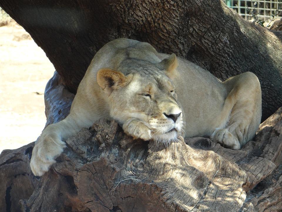 Leo, Lioness, Safari